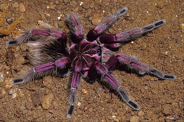 pamhobeteus_purple_birds_spider